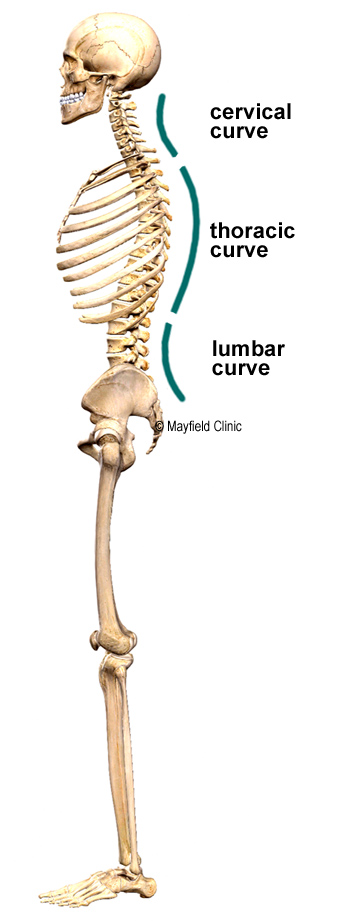 Illustration, sideview, standing human skeleton with cervical, thoracic, lumbar curves highlighted